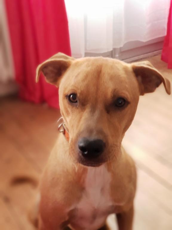 Flash, mâle castré croisé Labrador 20180817