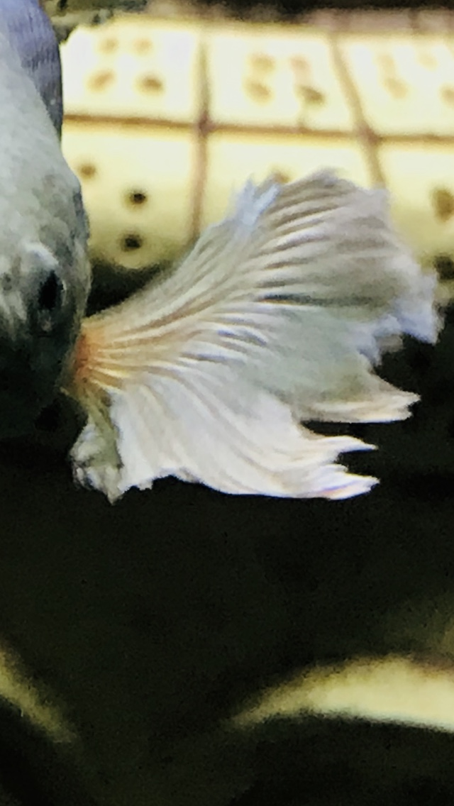 dumbo betta avec pectorales qui se decomposent ? Fullsi13