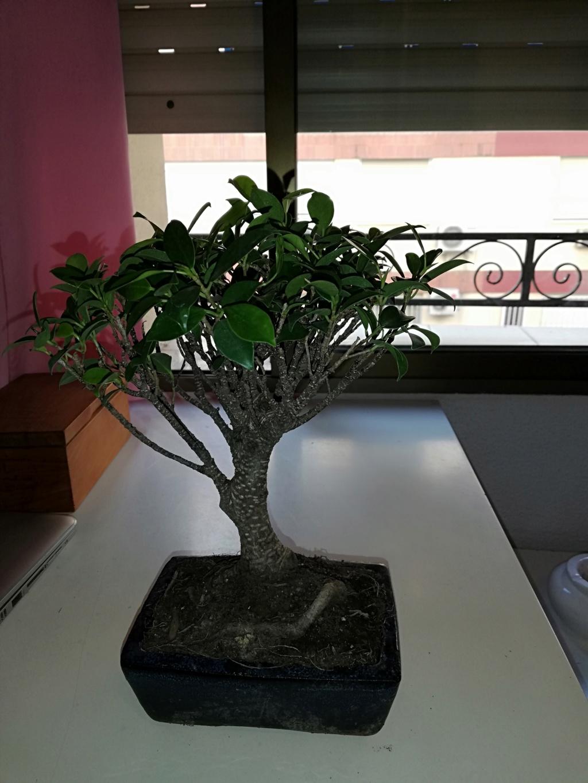 Primer bonsai Ficus - Ayuda principiante Img_2010