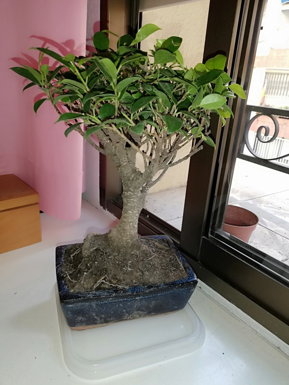 Primer bonsai Ficus - Ayuda principiante Img_2011