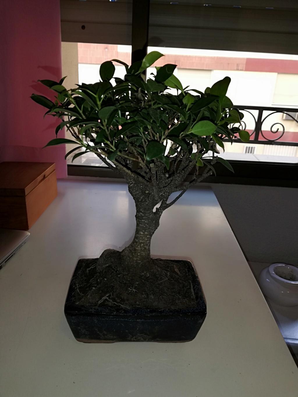 Primer bonsai Ficus - Ayuda principiante Img_2012