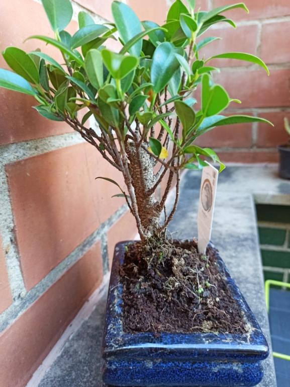 Ficus de prácticas Img_2035