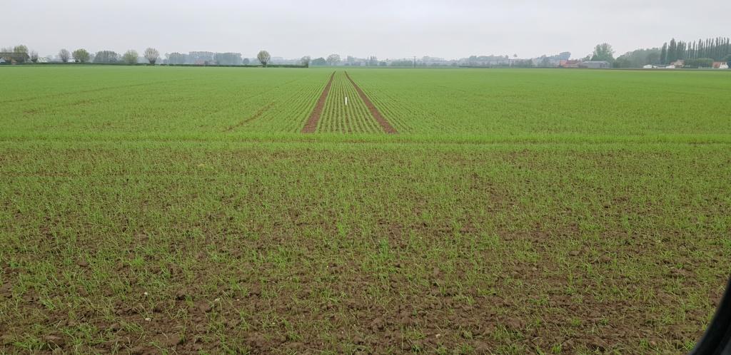 Fertilisation des blés de printemps 20200413