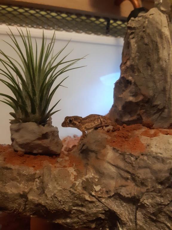 Tarentola [Geckonia] chazaliae Oscar210