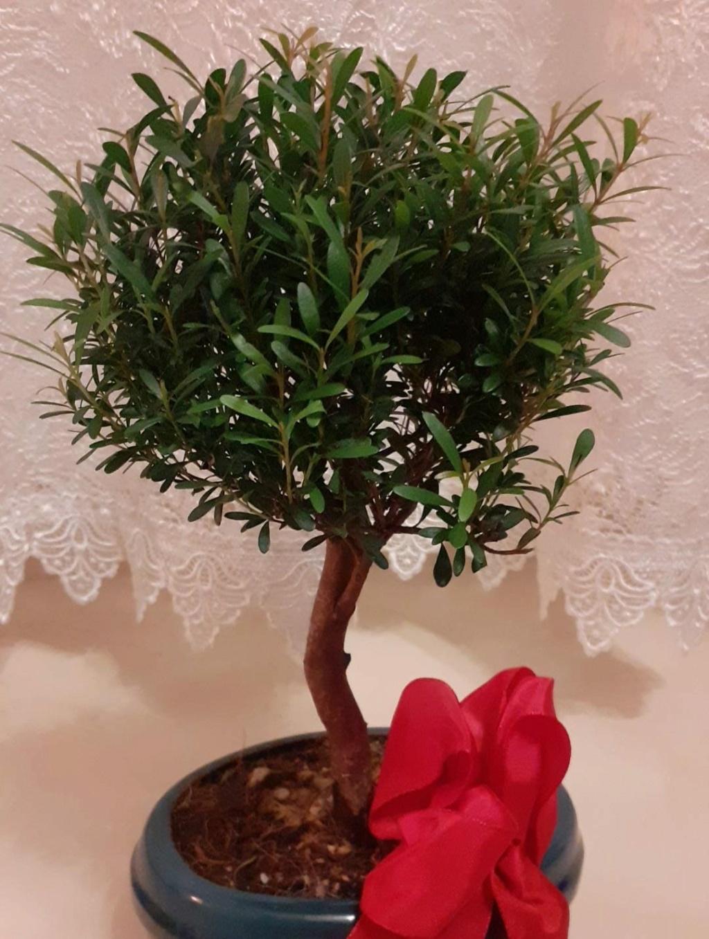Aiuto! Identificazione e consigli bonsai Bonsai11