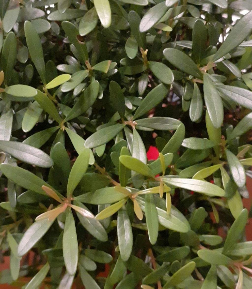 Aiuto! Identificazione e consigli bonsai Bonsai12