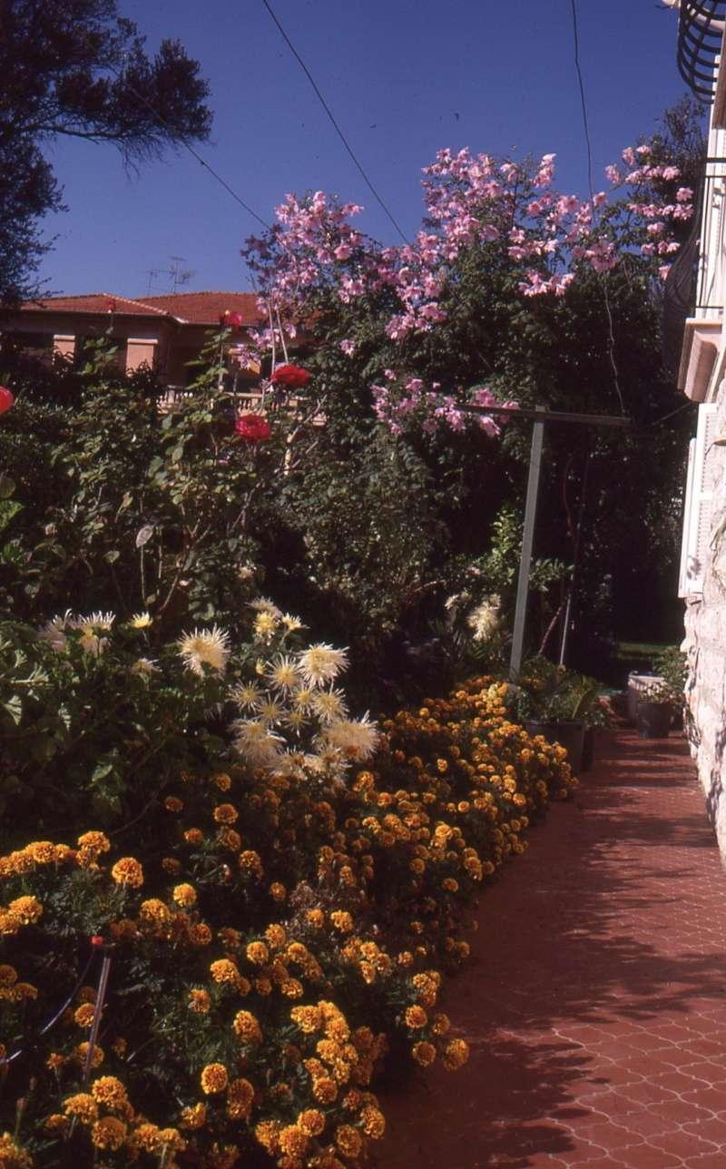 Dahlia imperialis - Page 5 1987_o10