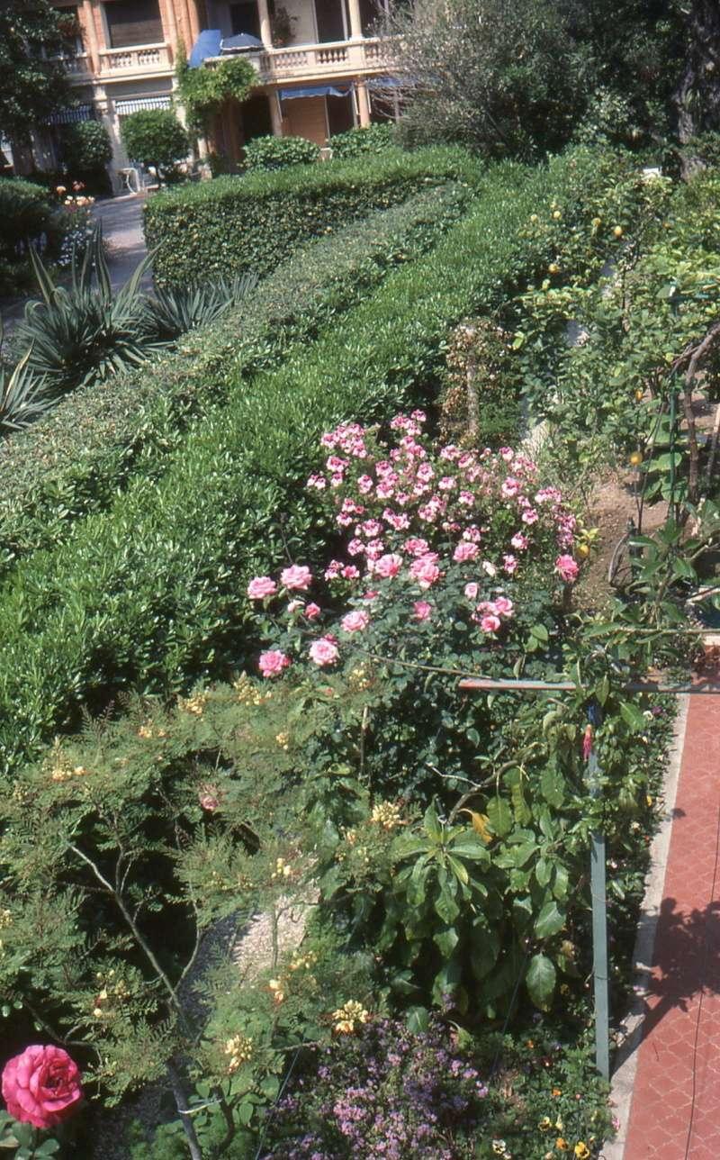 Pittosporum tobira 1990_j10