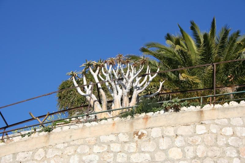 Aloidendron dichotomum (= Aloe dichotoma) Aloe_d10