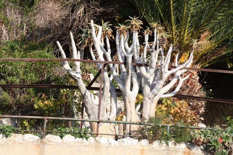 Aloidendron dichotomum (ex Aloe dichotoma) - Page 2 Aloe_d11