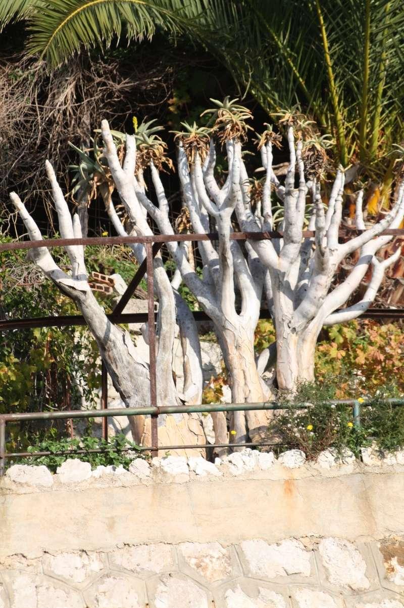 Aloidendron dichotomum (ex Aloe dichotoma) - Page 2 Aloe_d12
