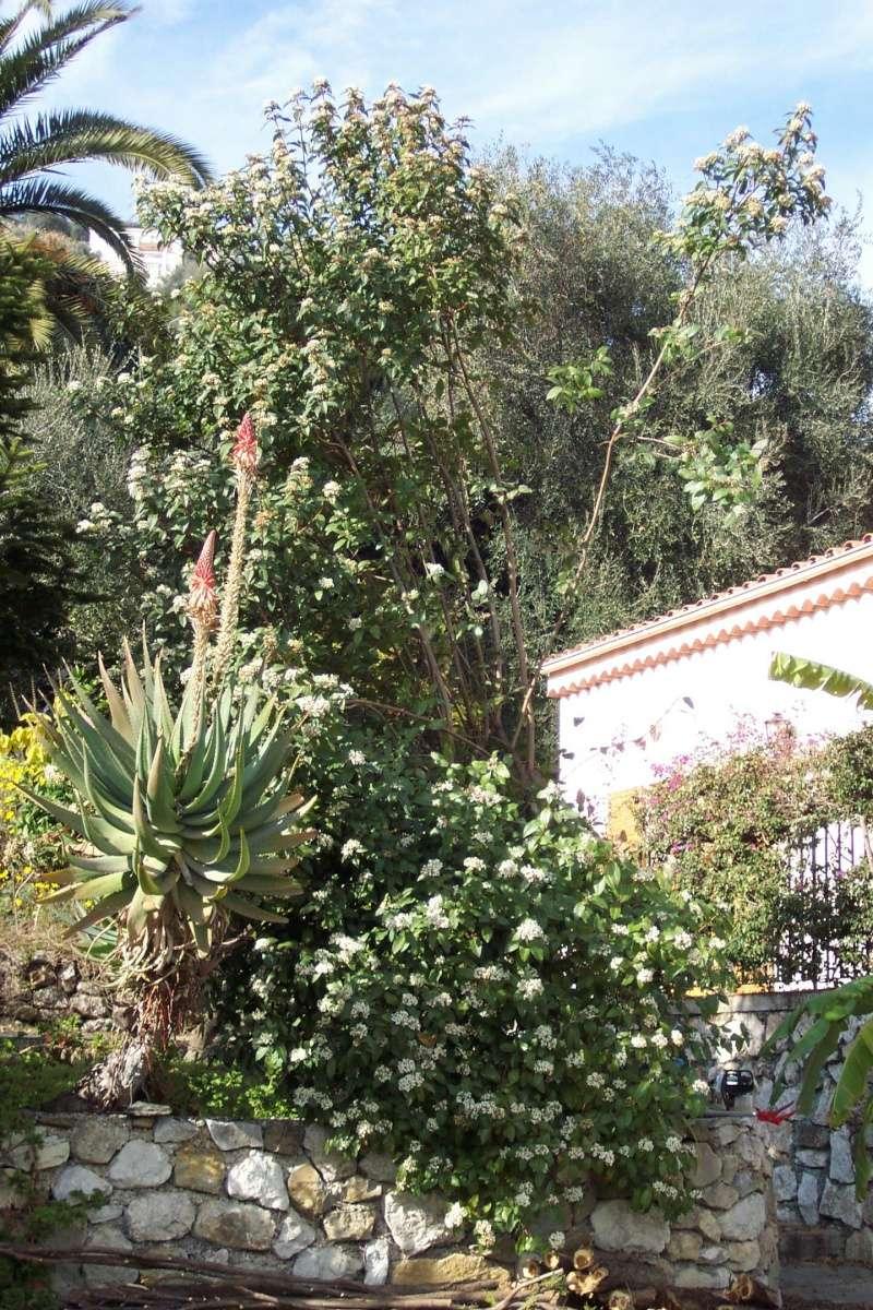 Viburnum tinus - viorne tin, laurier tin - Page 2 Aloe_e10
