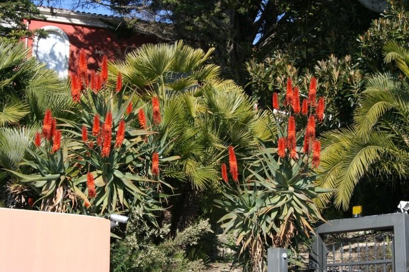 Aloe marlothii, Aloe rupestris, Aloe x principis : comparaison Aloe_r10