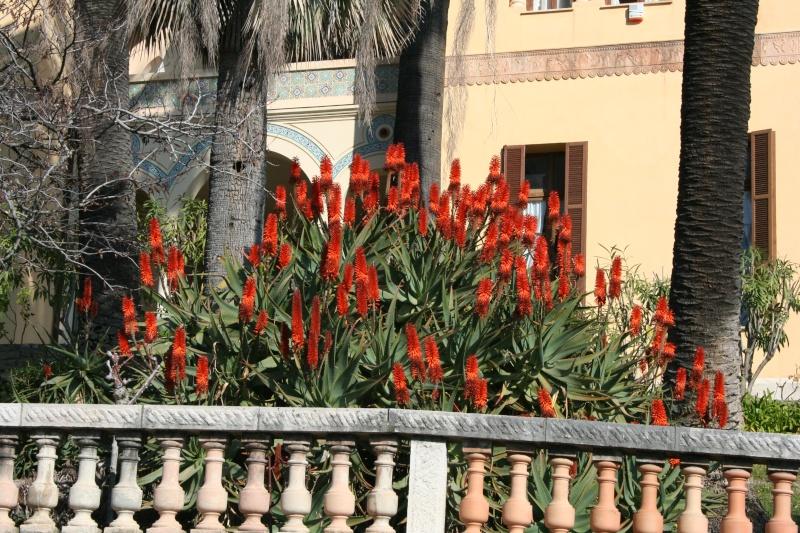 Aloe marlothii, Aloe rupestris, Aloe x principis : comparaison Aloe_r11