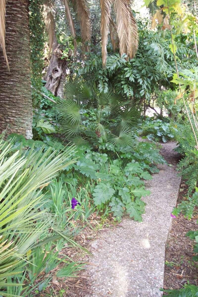 Cocculus laurifolius Ambian10