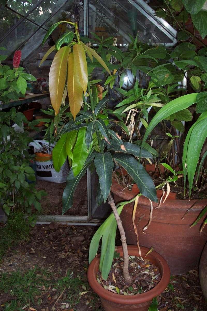 Mangifera indica - manguier Anacar10