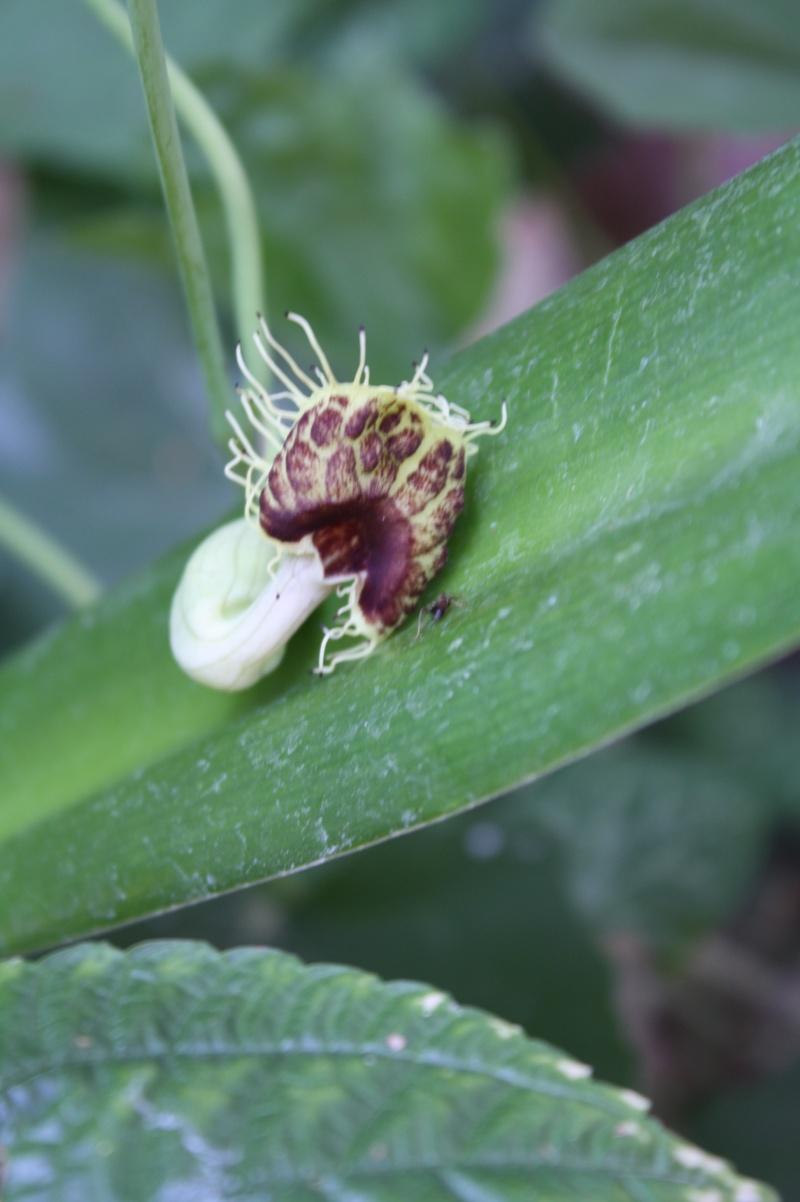 Aristolochia fimbriata Aristi10