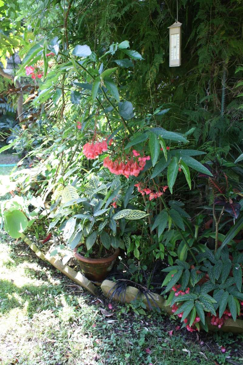 Transformation surprenante d'une plante Begoni11