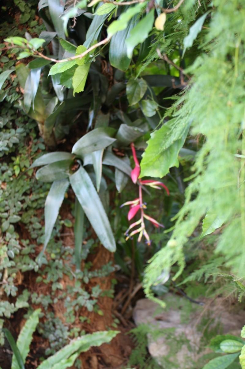 Billbergia buchholzii Billbe10