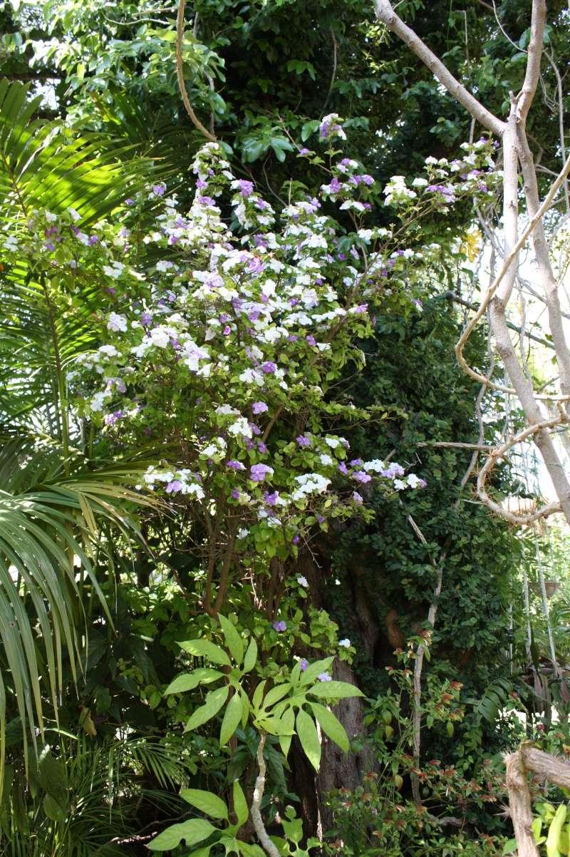 Brunfelsia pauciflora Brunfe12