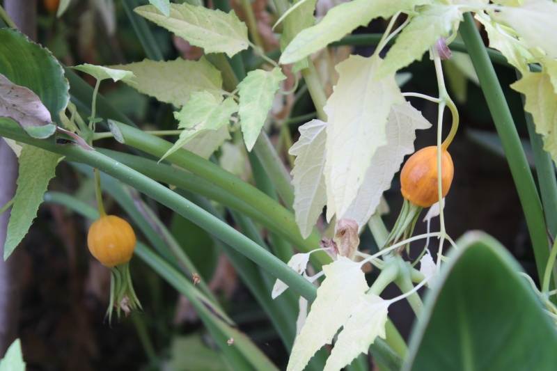 Canarina canariensis Canari15