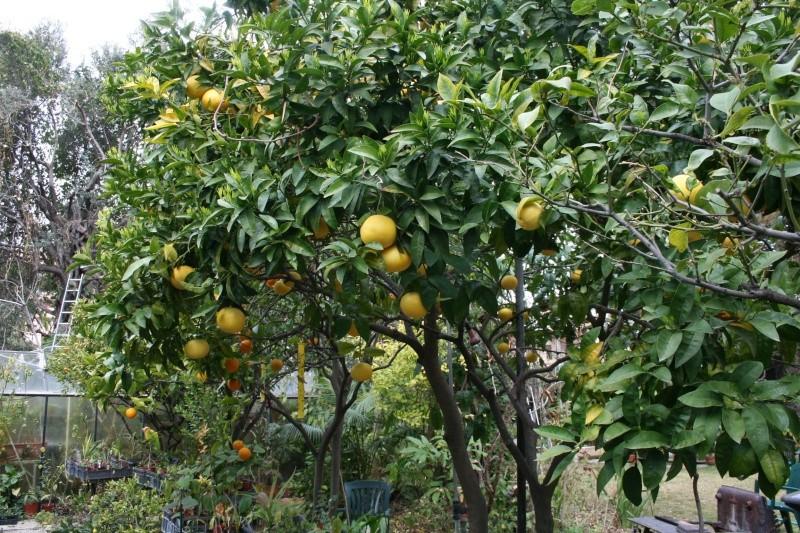 Citrus paradisi - pomélo Citrus10