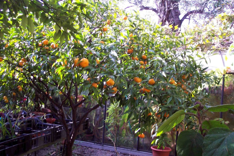 Citrus reticulata (= Citrus deliciosa) - mandarinier commun Citrus11