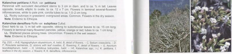 Kalanchoe marmorata f. somalensis Copie_10
