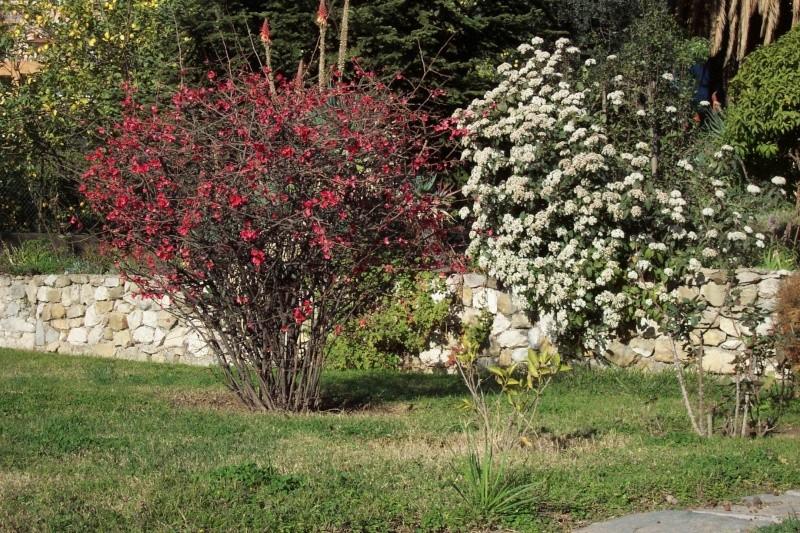 Viburnum tinus - viorne tin, laurier tin - Page 2 Cydoni10