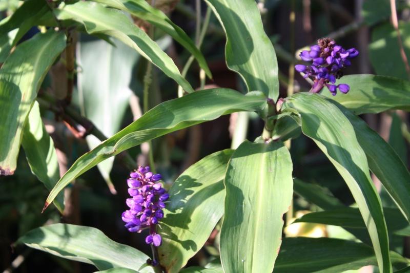 Dichorisandra thyrsiflora - gingembre bleu Dichor10