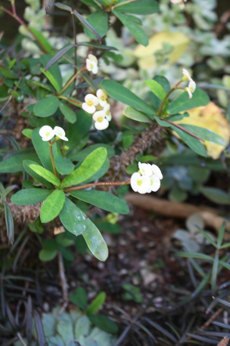 Euphorbia millii Euphor10