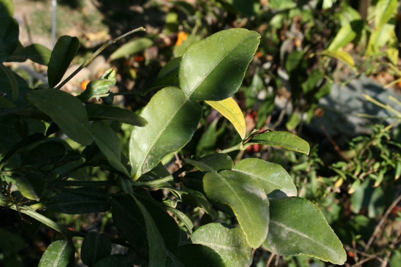 Citrus limon - citronnier des quatre saisons Feuill12