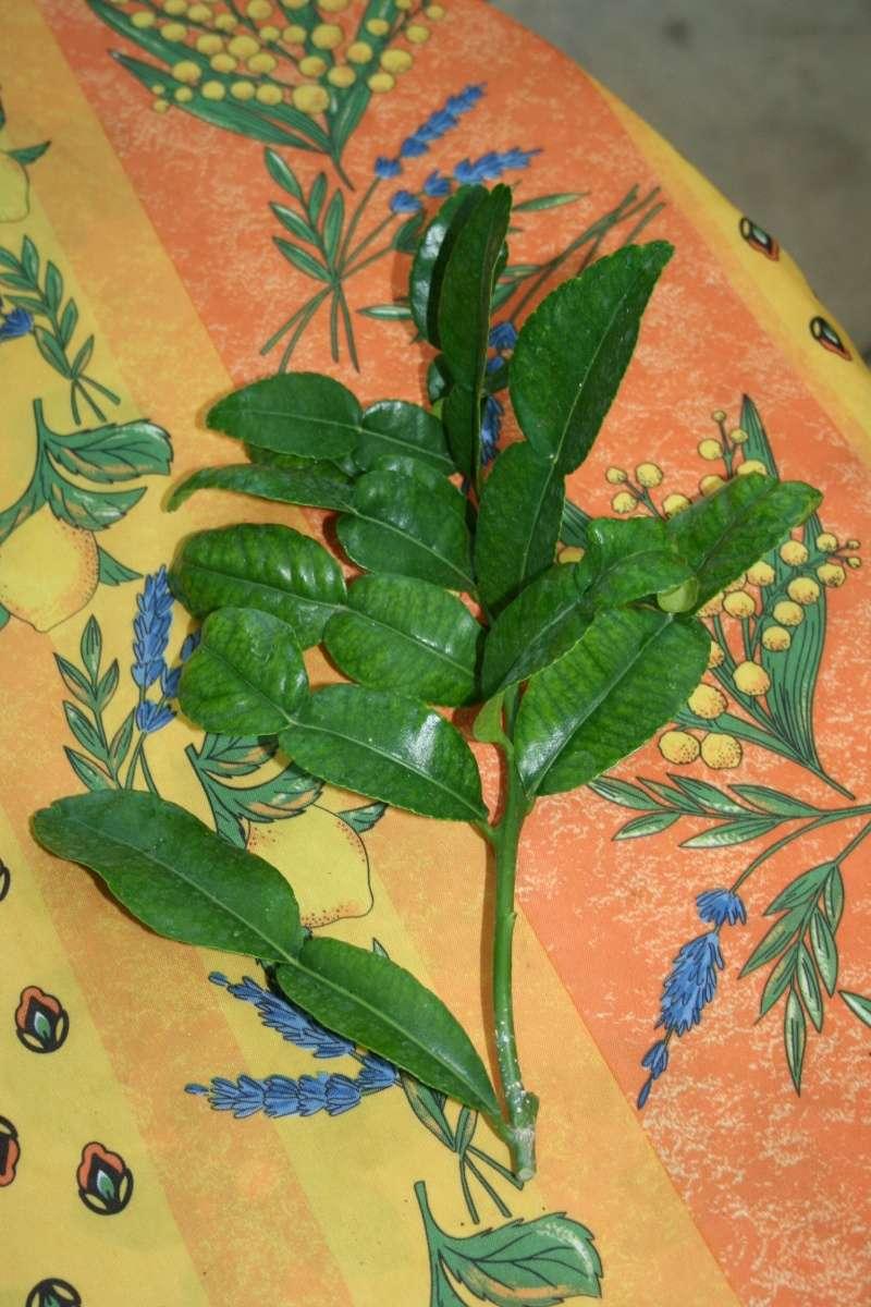 Citrus limon - citronnier des quatre saisons Feuill13