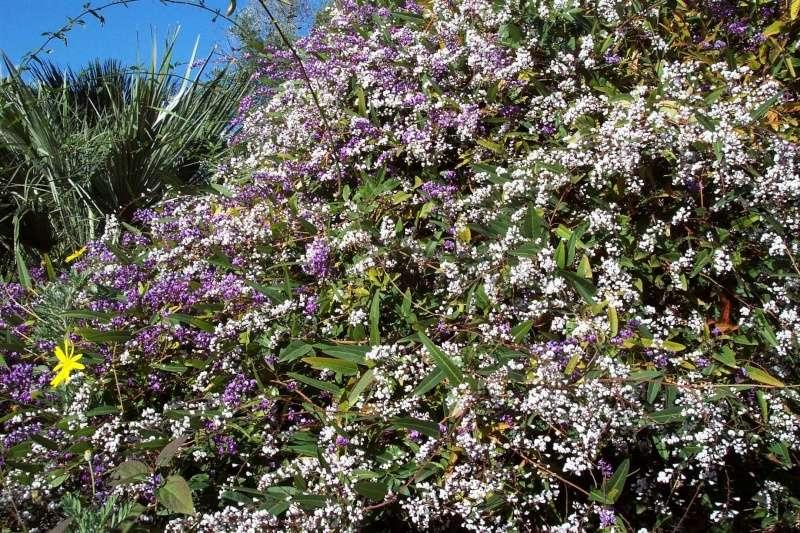 Hardenbergia violacea Harden10