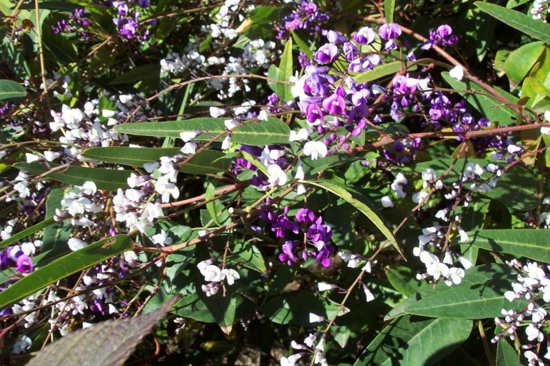 Hardenbergia violacea Harden11