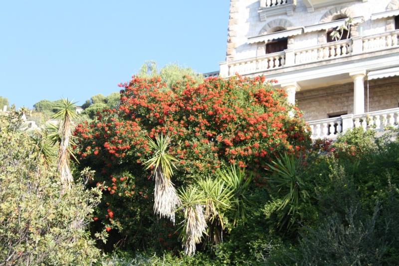 Heteromeles arbutifolia Hetero10
