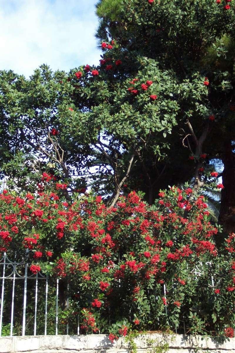 Heteromeles arbutifolia Hetero11