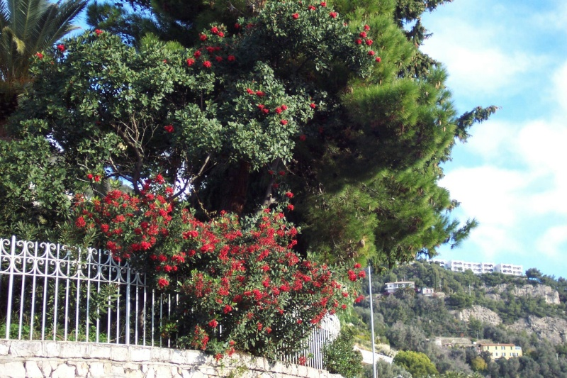 Heteromeles arbutifolia Hetero12