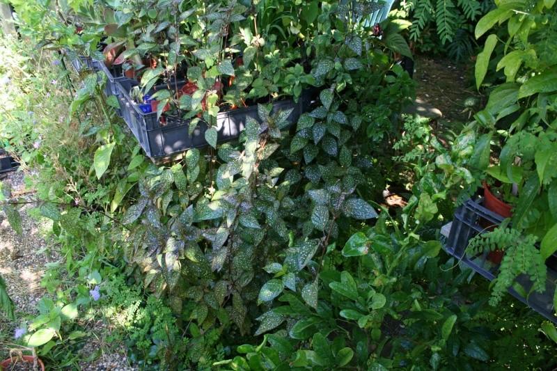 identification plantes vertes [Résolu] Hypoes11