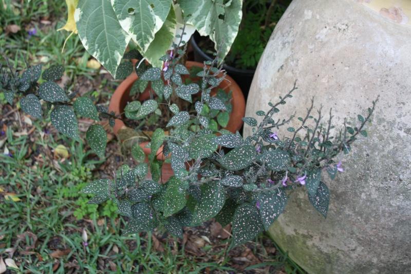identification plantes vertes [Résolu] Hypoes13