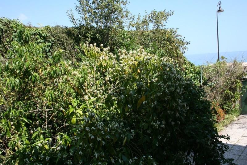 Quelques Acanthaceae en fleurs  Justic17
