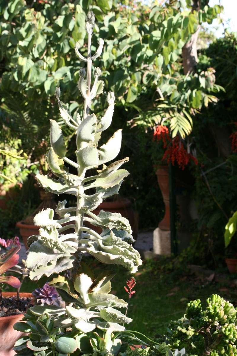 la plante à mamie! Kalanc17