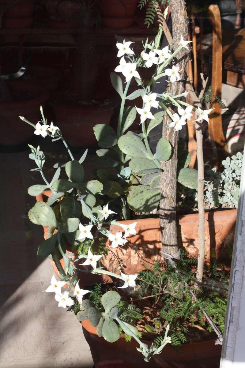 Kalanchoe marmorata en pleine floraison en ce moment Kalanc18