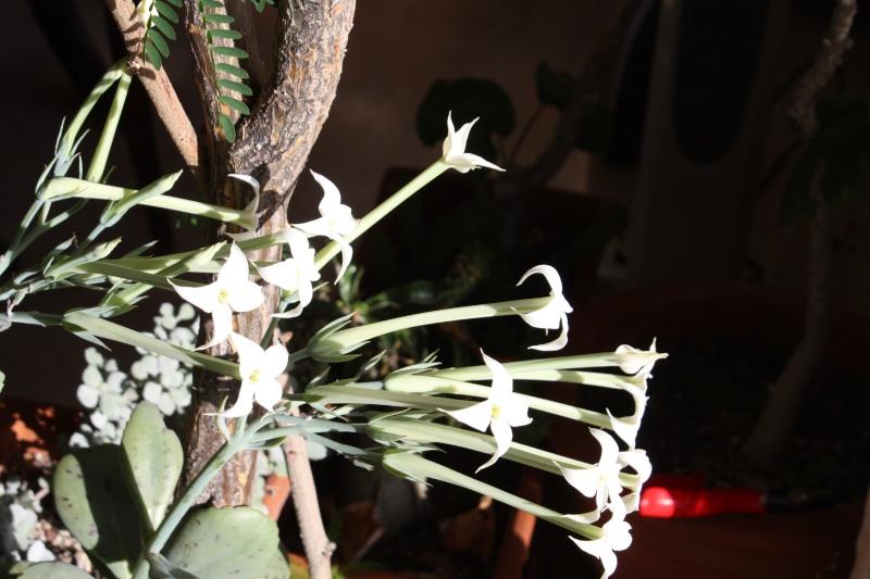 Kalanchoe marmorata en pleine floraison en ce moment Kalanc19