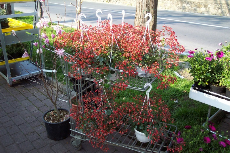 Bryophyllum 'Tessa' (= Kalanchoe 'Tessa') Kalanc21