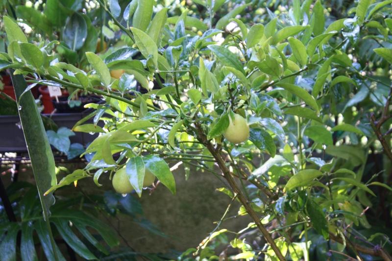 Limequat 'Lakeland' Limequ10