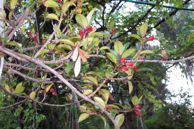 Nematanthus strigillosus (= Hypocyrta glabra) - plante poisson rouge Nemata10