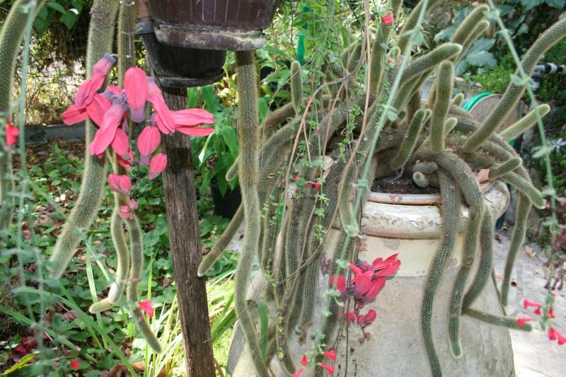 Passiflora racemosa Passif10