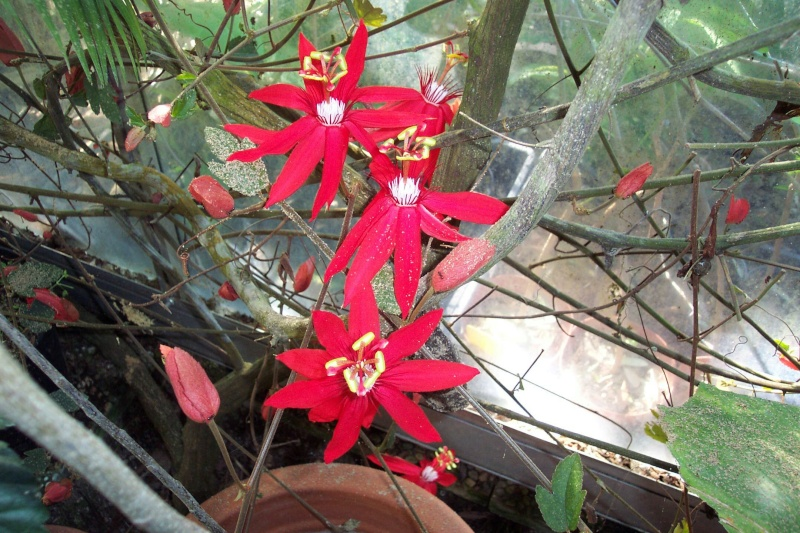 Passiflora vitifolia Passif13