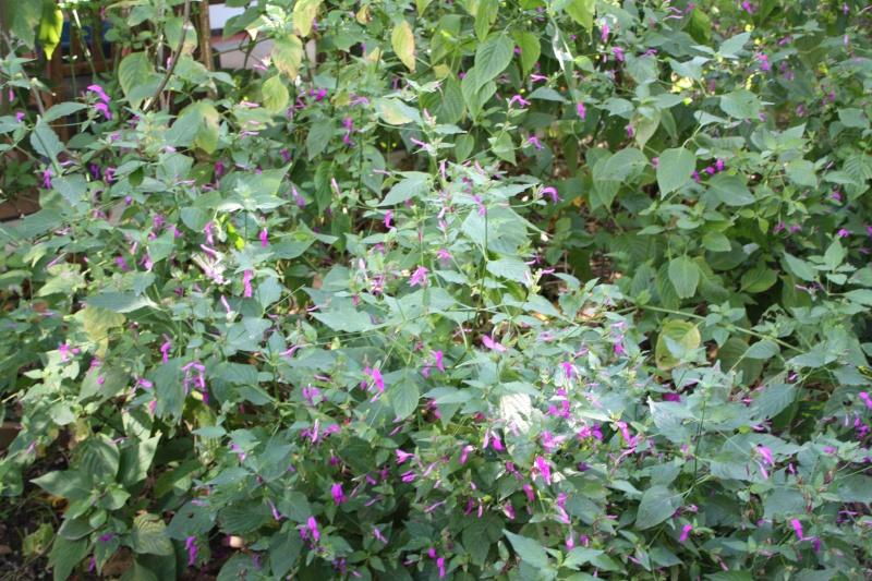 Quelques Acanthaceae en fleurs  Perist10